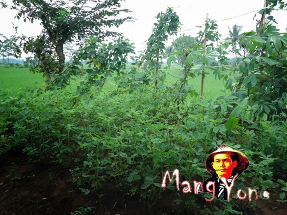 Tanaman Kacang Tanahdan tanaman Kacang panjang di kebun