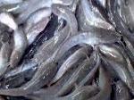 Mau Beli Bibit Ikan Lele ..? KLIK GAMBAR IKAN LELE INI...