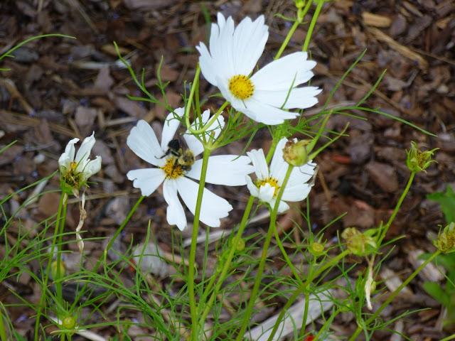 White Cosmos bipinnatus and Bee