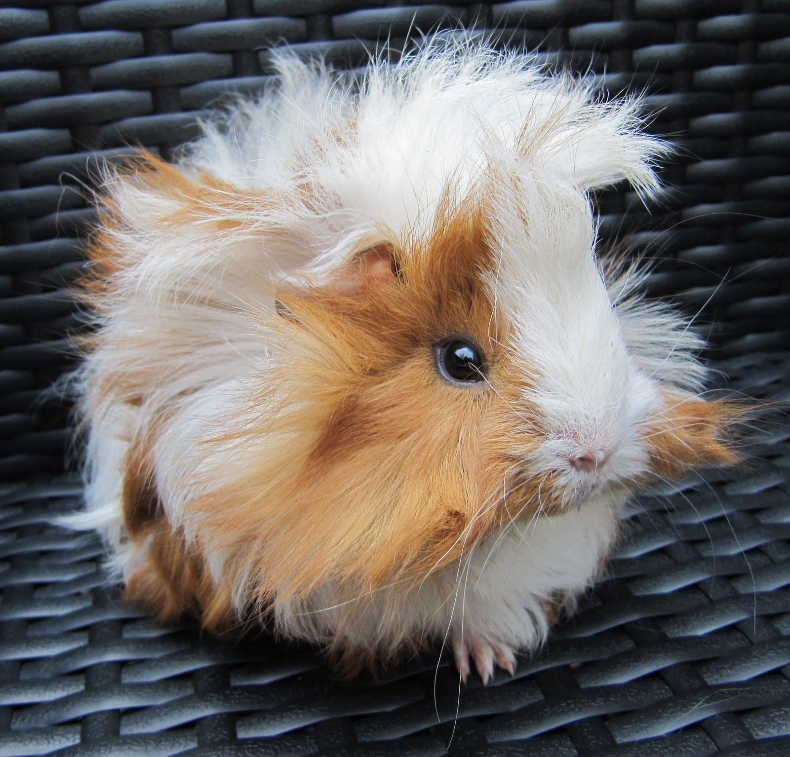 All Things Guinea Pig Top Tips For Cavy Care