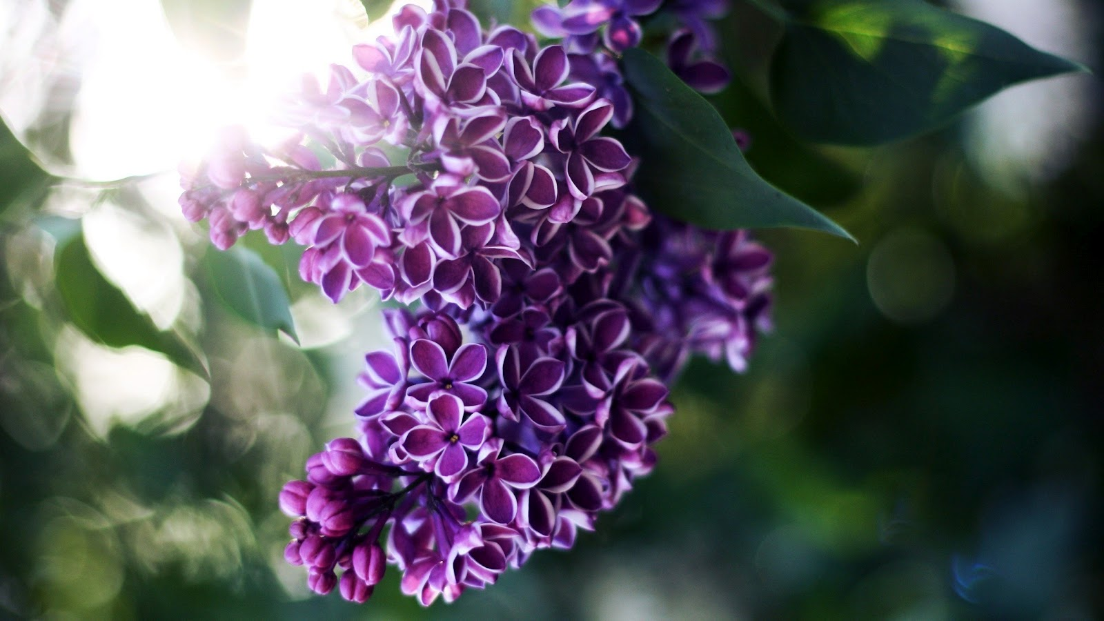 Picture Of Lilac Flower - Beautiful Flowers