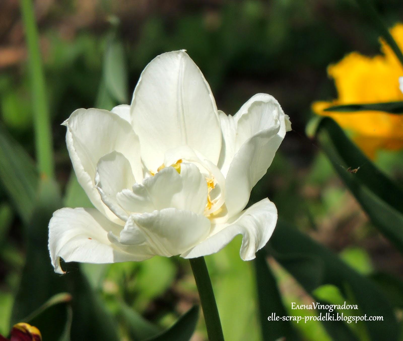 Елена Vinogradova. тюльпан белый