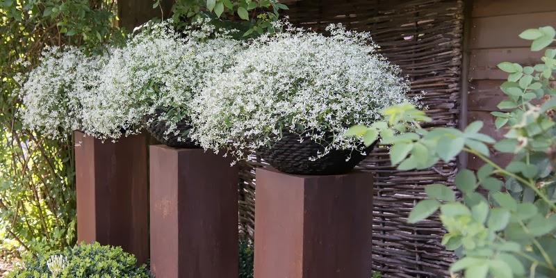 Euphorbia-hybrid 'Diamond Frost'