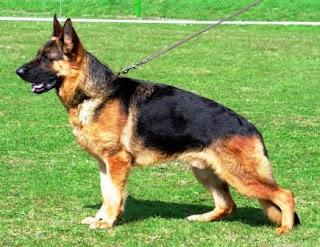 German Shepherd Dog Pictures