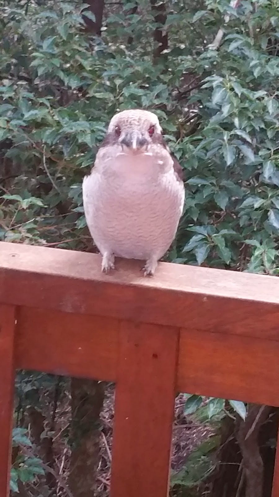 Kookaburra in Hornsby, NSW - at my new house after migrating to Sydney