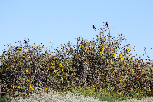 Birds Eating Sunflower Seeds-Fall Dunes at Matgorda Beach-Matagorda, Texas