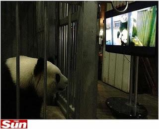 Pandas vêem porno para ficarem excitados