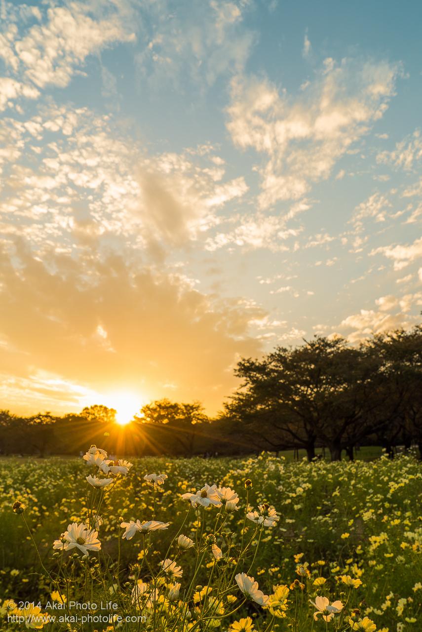 国営昭和記念公園で撮影したコスモスと夕日