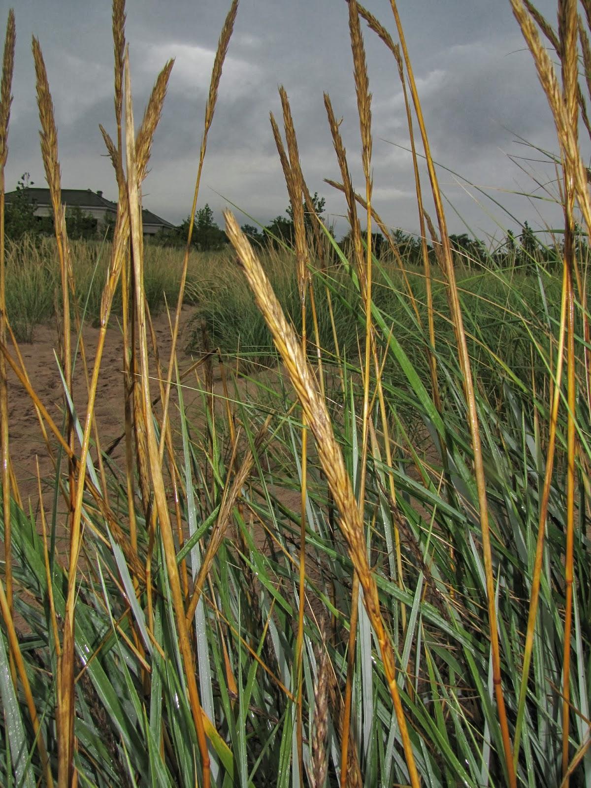 Blue dune lyme grass - Lyme Grass Inflorescence