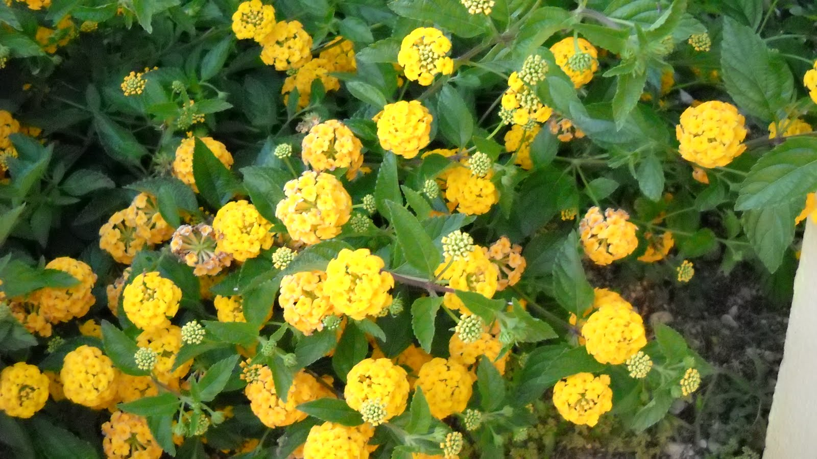 arbusto fechado pleno de flores que atraiem uma variedade de insectos