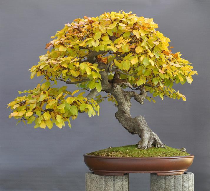 bonsai und beistellpflanzen buche im herbst. Black Bedroom Furniture Sets. Home Design Ideas
