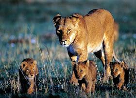 singa+betina 10 Perilaku Unik dan Janggal Induk Hewan Pada Anaknya