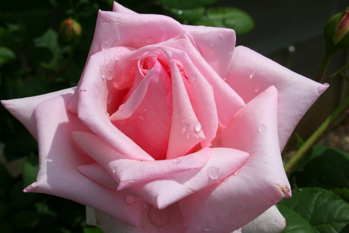 Cute Wallpaper's: Cute Pink Roses