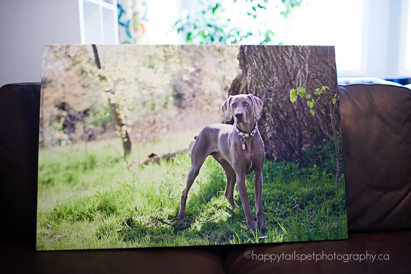 close up of weimaraner on gallery wrap canvas