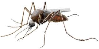 Remedio casero para mosquitos efectivos y Naturales