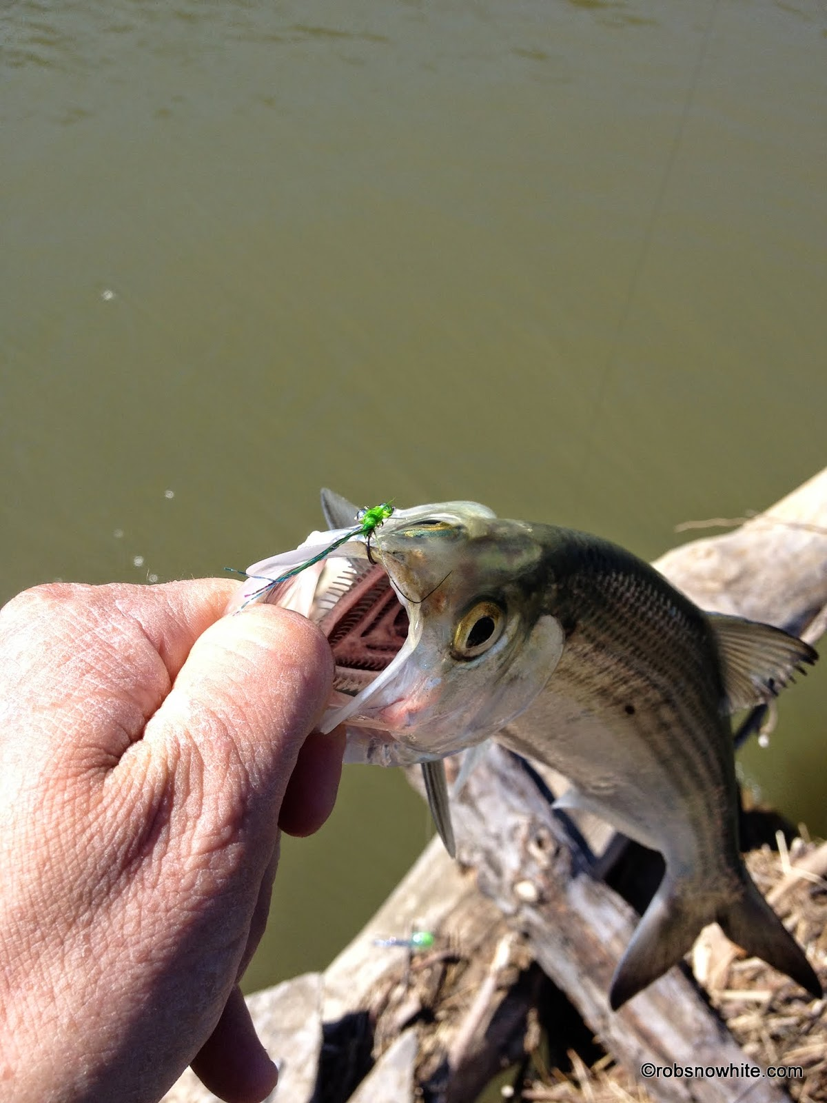 Fly Fishing For Shad