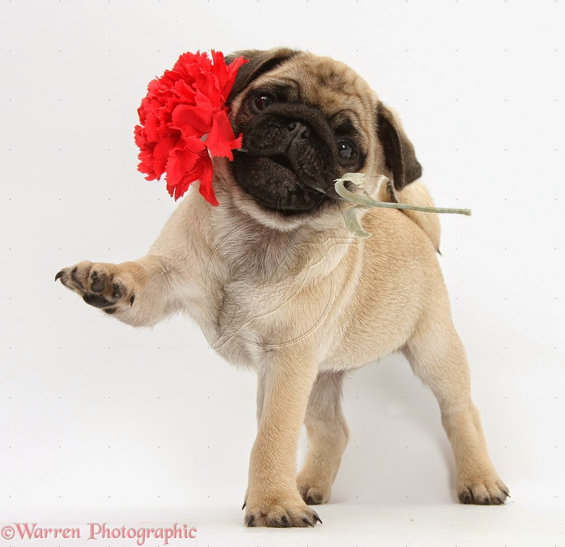 rules of the jungle pug puppies