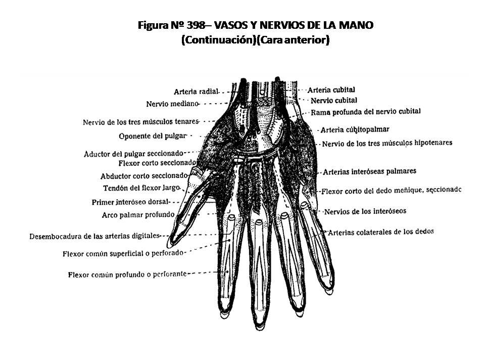 ATLAS DE ANATOMÍA HUMANA: 398. VASOS Y NERVIOS DE LA MANO ...