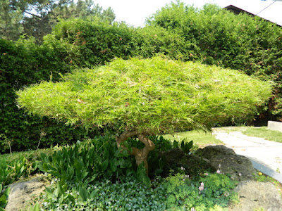 Waterfall Japanese maple bad pruning by garden muses-not another Toronto gardening blog