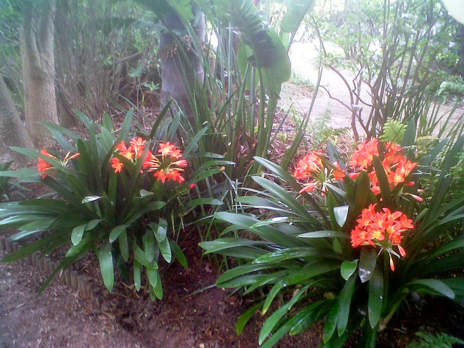 Winsome Urban Garden And Backyard Farming South Africa Growing Clivias  With Fascinating Two Clivias Already Established In The Garden  Proving Some Plants Flower  Beautifully In Shade  With Amusing Gardener And Haskins Also Trocadero Gardens In Addition Jasmine Garden Takeaway And Screening Garden Ideas As Well As Waterproof Garden Parasol Additionally Neptune Garden Chairs From Southafricanurbangardenerblogspotcom With   Fascinating Urban Garden And Backyard Farming South Africa Growing Clivias  With Amusing Two Clivias Already Established In The Garden  Proving Some Plants Flower  Beautifully In Shade  And Winsome Gardener And Haskins Also Trocadero Gardens In Addition Jasmine Garden Takeaway From Southafricanurbangardenerblogspotcom