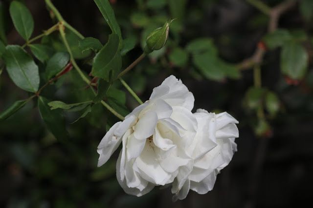icerberg rose lilyfield life