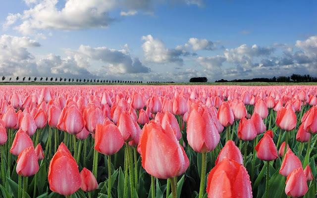 Ảnh đẹp cuộc sống: Bộ hình nền đẹp về cánh đồng hoa Tulip 9