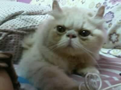 Kucing Parsi Cantik