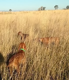 Hunting pheasant with half brother Havoc and his daughter Envy.