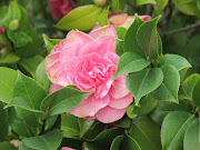 The Camellias of Vergelegen