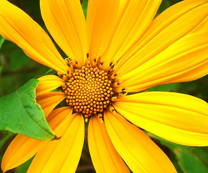 flor de jardim amarela:Flores para tí