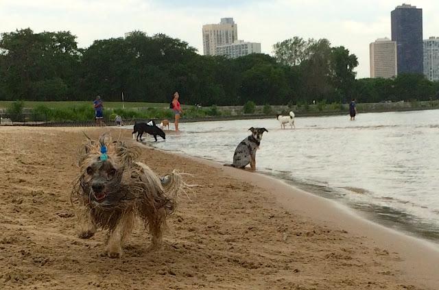 Montrose dog beach Rocco Havanese