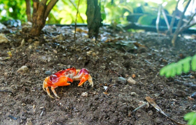 land crab, St. Lucia crab, Des Cartiers trail