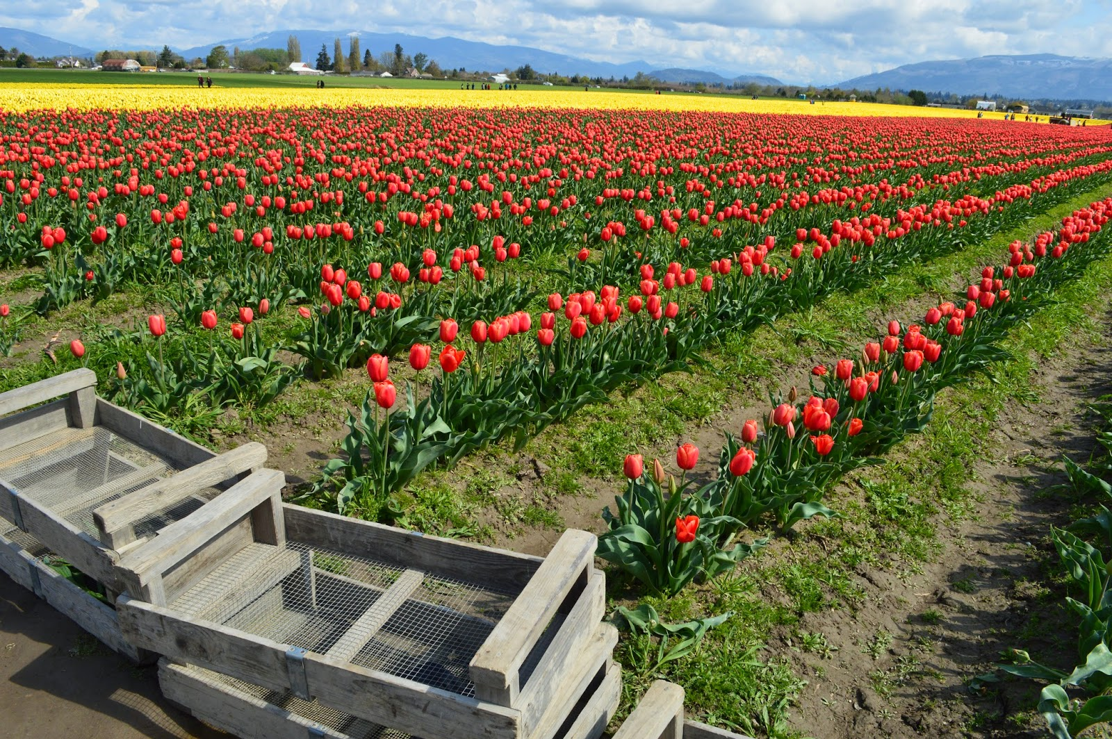 Wooden crates in the tulip field.