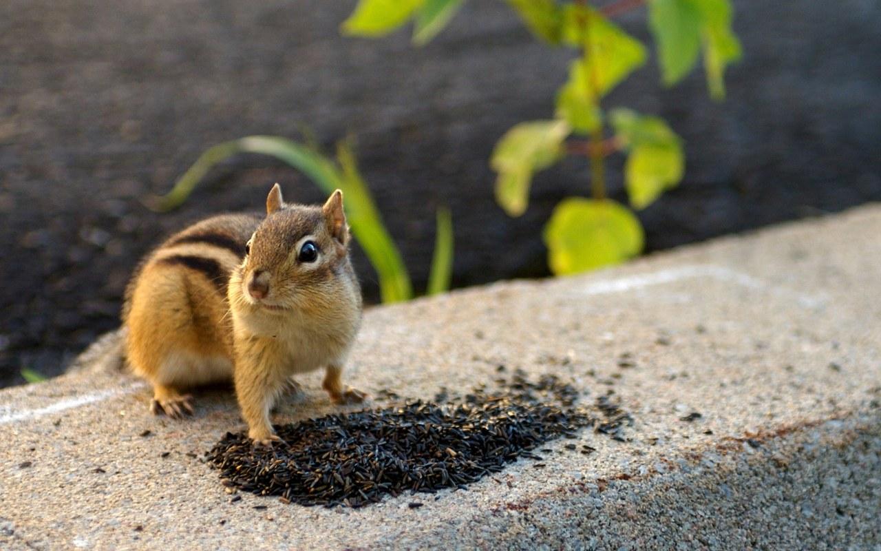 Boys Work and Dead Chipmunks | Chipmunks, Ground squirrel and Squirrel
