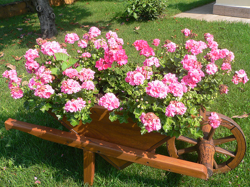 Studio floral dora santoro carriolas e cestas for Talea geranio