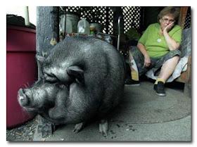 Babi selamatkan Pemiliknya yang sakit Jantung - www.jurukunci.net
