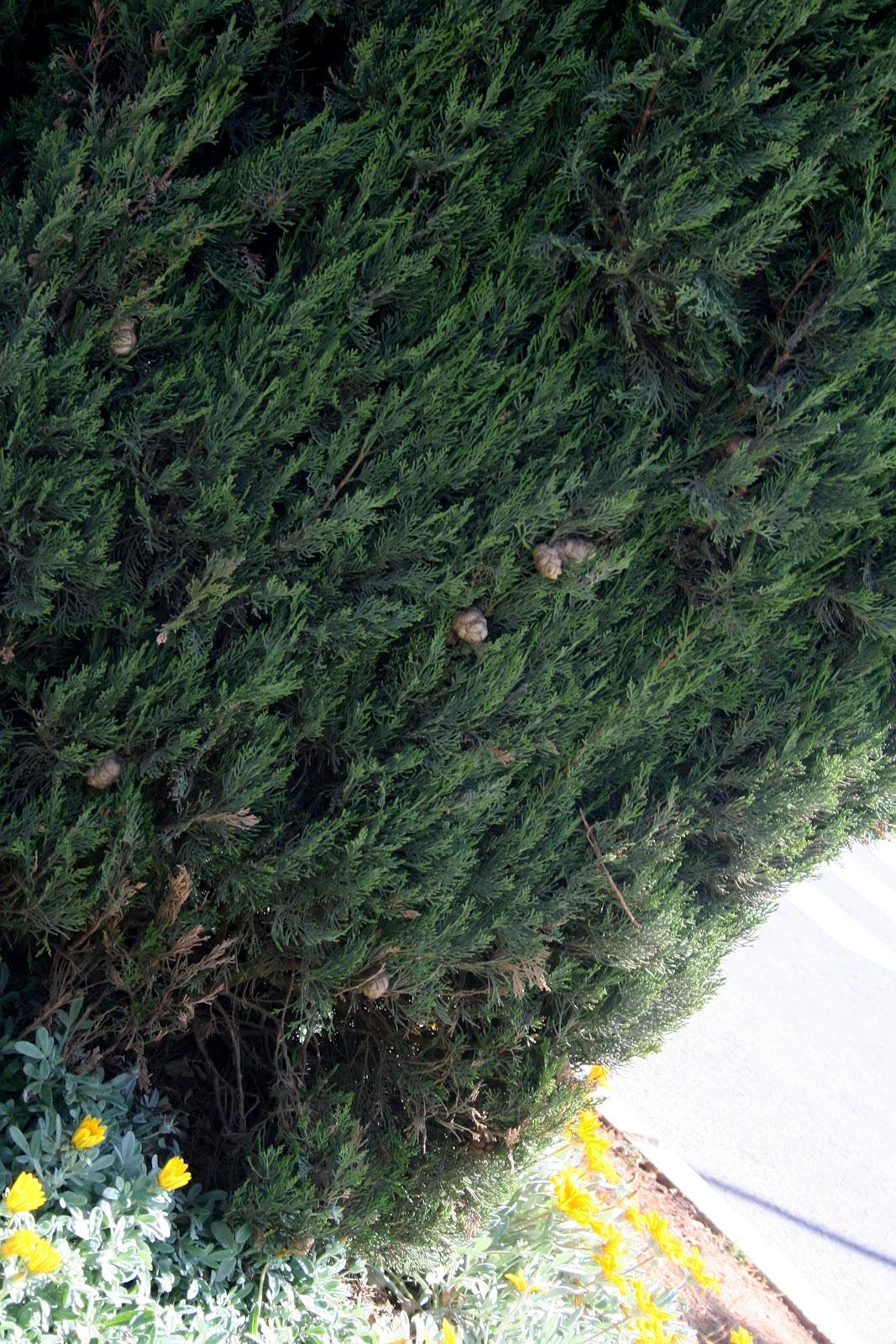 Cipr s com n rboles ornamentales de almer a for Arboles ornamentales de hoja perenne