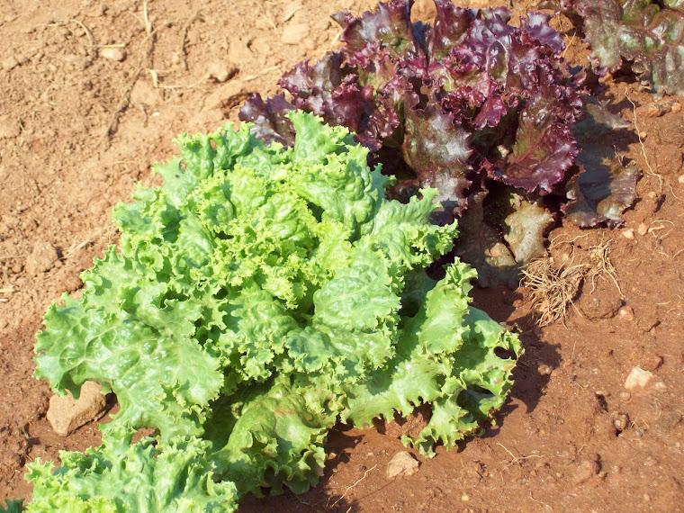 Yum!! Lettuce