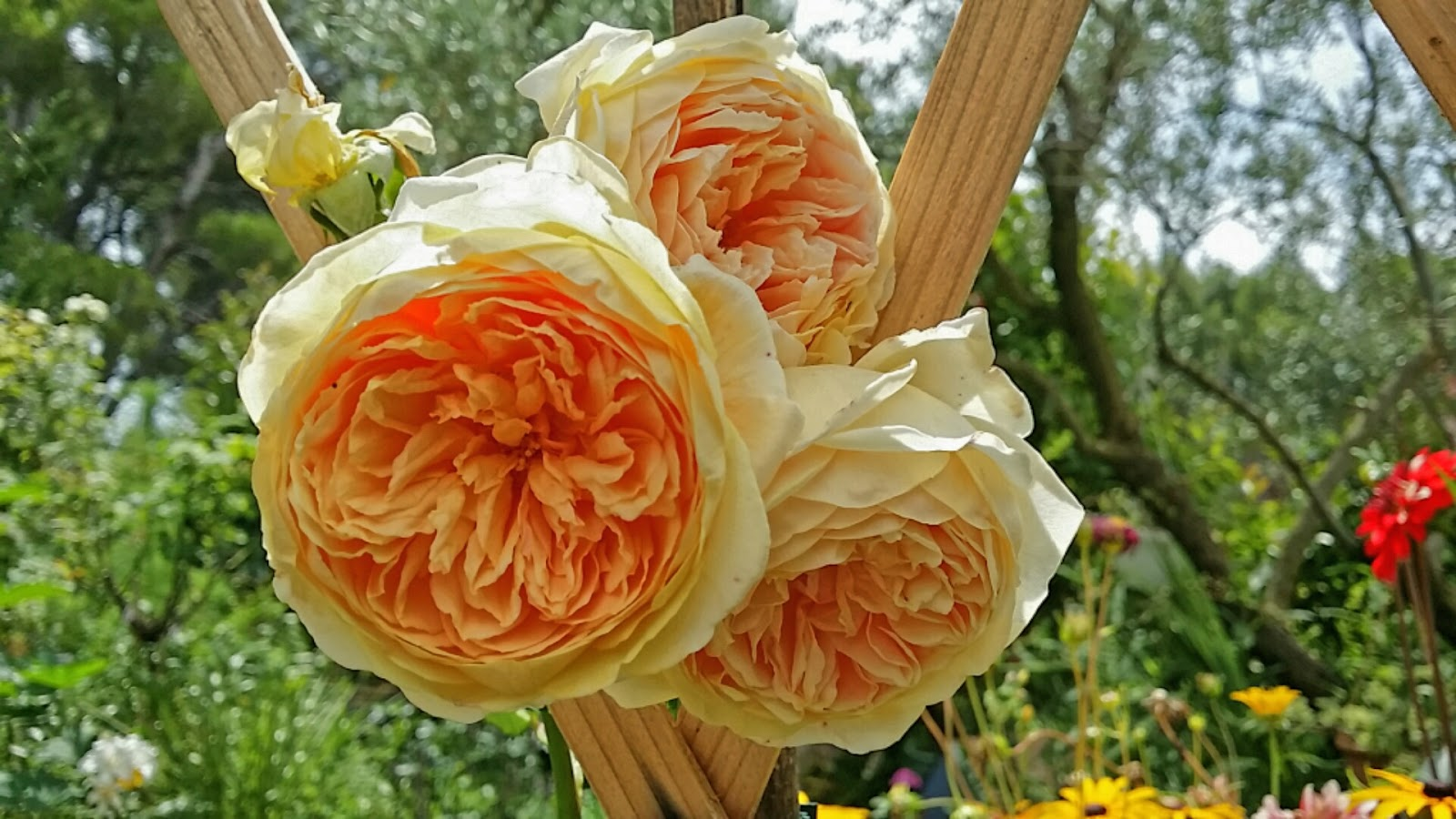 rosier dans mon jardin