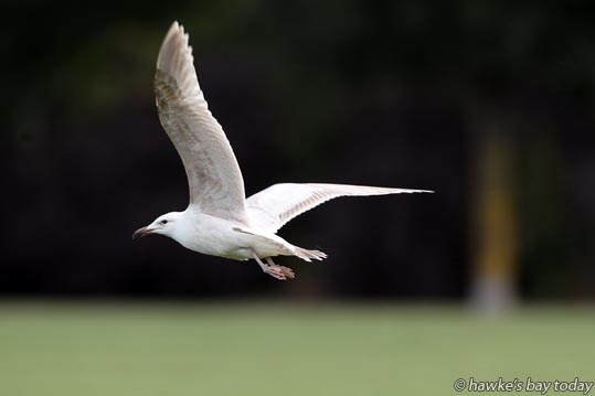 In flight, revealing the colour under its wings, a white and tan black-backed gull in Hastings photograph