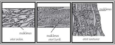 Jenis-jenis otot manusia dan fungsinya