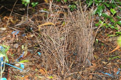 Satin Bowerbird (Ptilonorhynchus violaceus) bower
