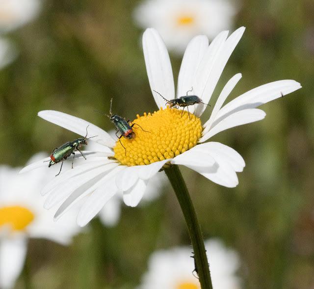 Red-tipped flower beetle, Malachius bipustulatus, on ox-eye daisy,  Leucanthemum vulgare.  Three beetles present. Hayes Common, 21 May 2011. EOS 450D, Canon 100mm macro lens.