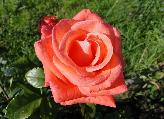 Rose Dewdrops Verkhovyna Carpathians Ukraine