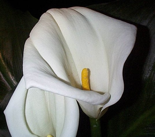 Herbs Treat And Taste Calla Lily Arum Lily Symbol Of