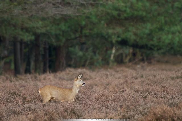 Ree - Roe Deer Capreolus capreolus