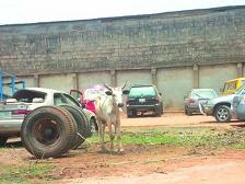 Police Arrest 4 Cows