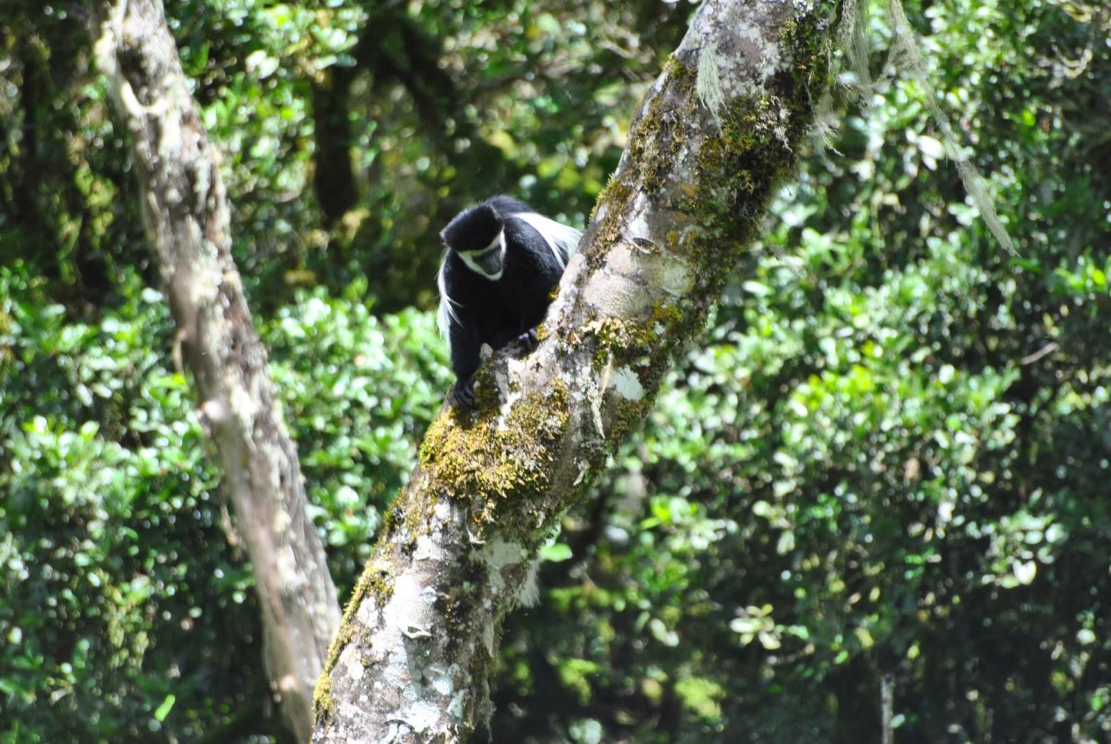 Mount Kilimanjaro, Mandara hut, Whte Colobus Monkey
