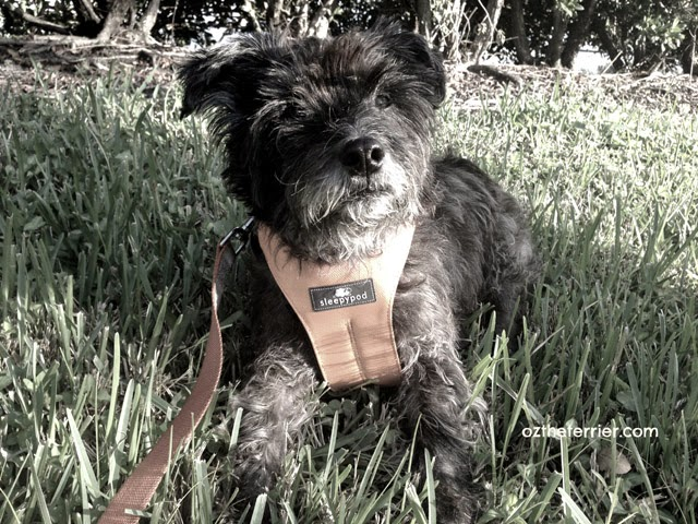 Oz the Terrier models the new Clickit Sport pet safety restraint by Sleepypod