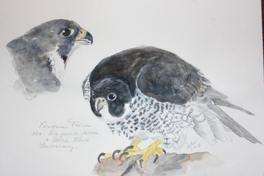 Peregrine Falcon Sketch The Peregrine Falcon 39 s